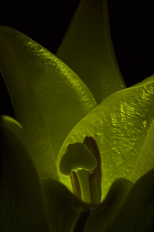 Floral photography using internal lighting
